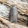 Acleris sparsana Copyright: Ben Sale