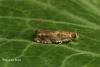 Epinotia abbreviana 4 Copyright: Graham Ekins