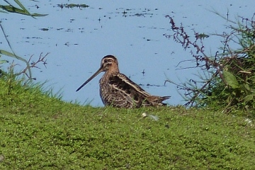 Snipe Copyright: Graham Smith