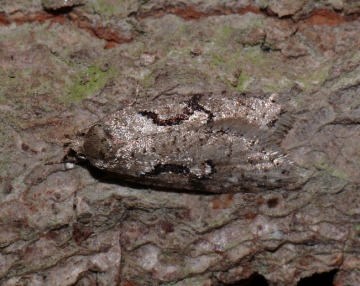Semioscopis steinkellneriana Copyright: Peter Furze