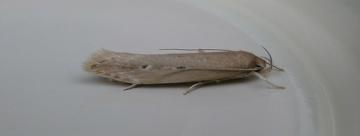 Limnaecia phragmitella. Copyright: Stephen Rolls