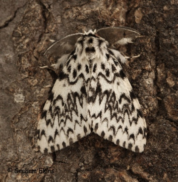 Lymantria monacha  Black Arches 6 Copyright: Graham Ekins