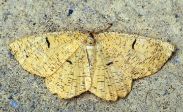 Orange Moth 5 Copyright: Ben Sale