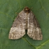 Ochropacha duplaris   Common Lutestring Copyright: Graham Ekins