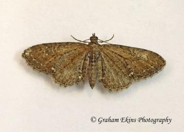 Eupithecia vulgata  Common Pug Copyright: Graham Ekins