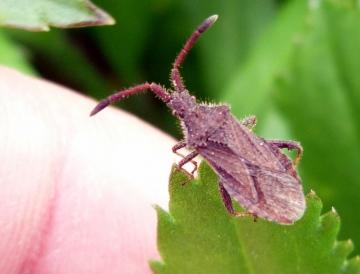 Shieldbug Copyright: Andrew Thompson