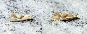 Cochylimorpha straminea 2 Copyright: Ben Sale