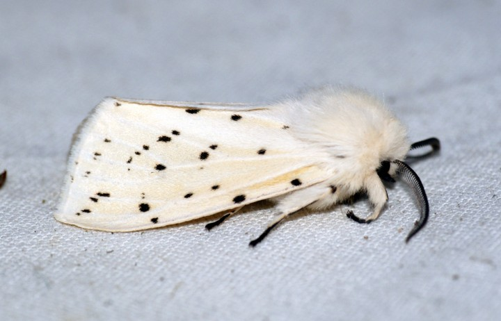 White Ermine 3 Copyright: Ben Sale