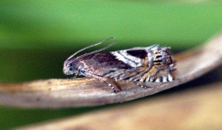 Grapholita jungiella Copyright: Ben Sale