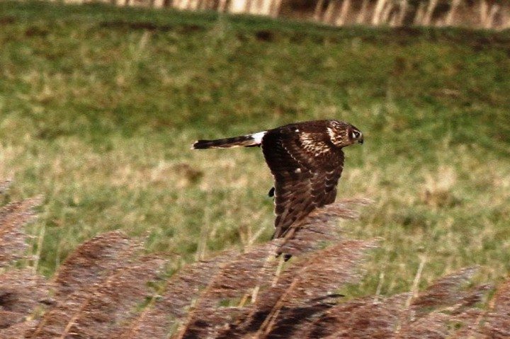 Hen Harrier 2 Copyright: Graham Smith