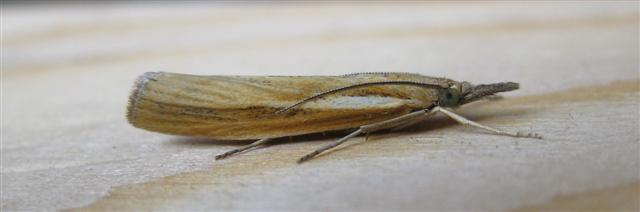 Agriphila tristella. Copyright: Stephen Rolls