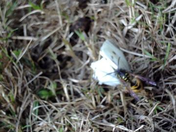 wasp killing butterfly Copyright: richard gerussi