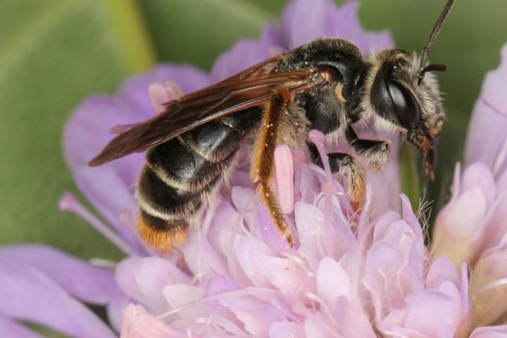 Andrena hattorfiana female1 Copyright: Peter Harvey