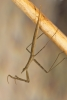 Water stick insect Copyright: Neil Phillips