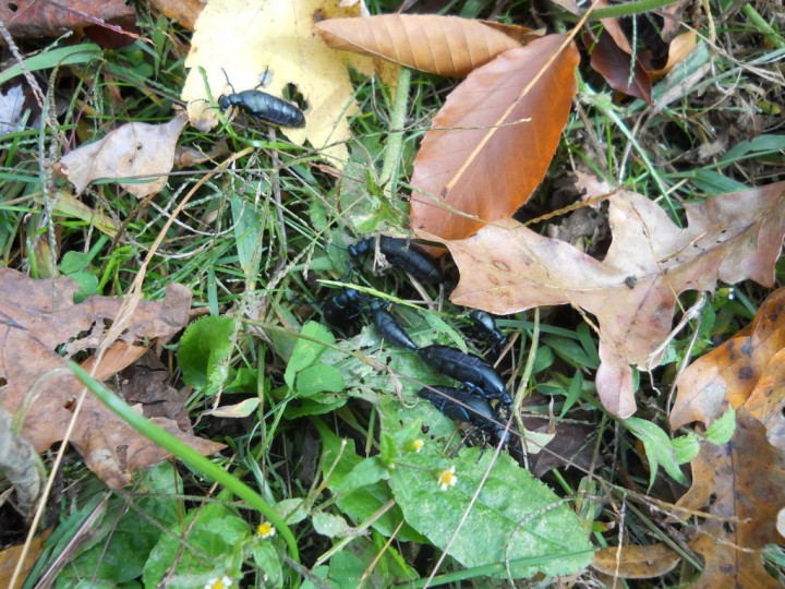 Violet Oil beetle in Kentucky Copyright: Lisa Bentley