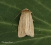 Smoky Wainscot  Mythimna impura  4 Copyright: Graham Ekins