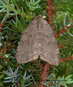 November Moth Epirrita dilutata Copyright: Graham Ekins