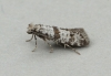 Scythropia crataegella 2 Copyright: Graham Ekins