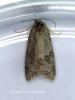 Cnephasia genitalana  GD Copyright: Graham Ekins