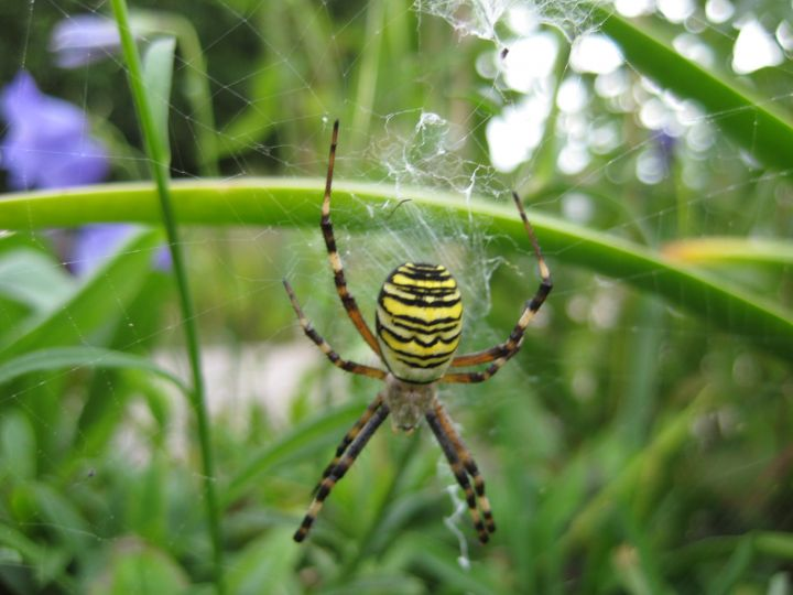 Wasp Spider Copyright: Penny Gillion
