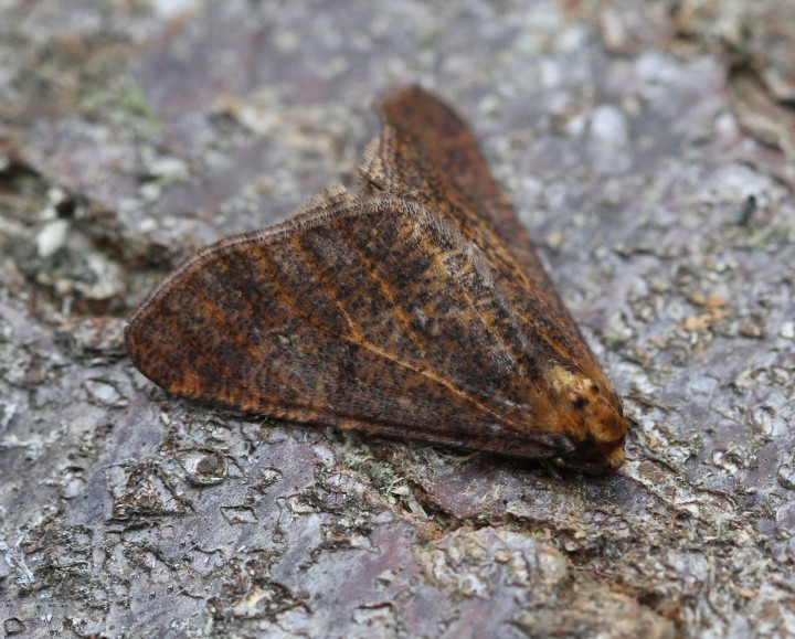 Mottled Umber  Erannis defoliaria 2 Copyright: Graham Ekins