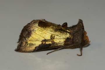 Burnished Brass aberration Copyright: Ben Sale