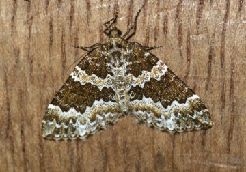 Broken-barred Carpet Copyright: Ben Sale