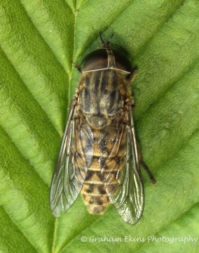 Tabanus bromius (Band-eyed Brown Horsefly) female Copyright: Graham Ekins