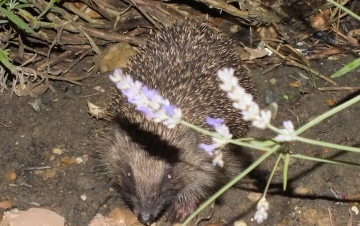 Hedgehog feeds in garden every night Copyright: Peter Pearson