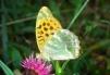 Argynnis paphia-hind wing Copyright: Peter Harvey