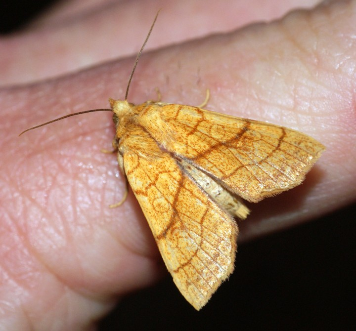 Orange Sallow 2 Copyright: Ben Sale