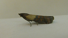 Indian Meal Moth Copyright: Stephen Rolls