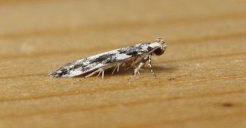 Parachronistis albiceps Copyright: Stephen Rolls