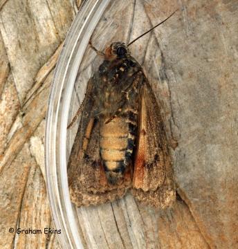 Amphipyra berbera  Svensson's Copper Underwing Copyright: Graham Ekins
