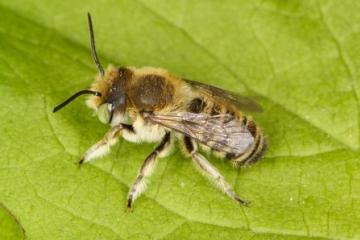 Megachile dorsalis Copyright: Peter Harvey