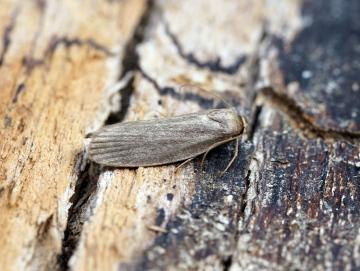 Lesser Wax Moth Achroia grisella Copyright: Ben Sale