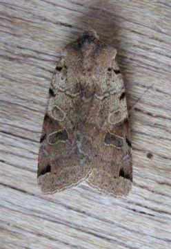 Brown Spot Pinion Copyright: Stephen Rolls