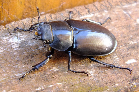 Stag Beetle female 2 Copyright: Peter Pearson