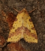 Pink-barred Sallow   Xanthia togata Copyright: Graham Ekins