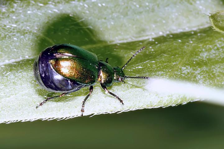 Gastrophysa viridula (16 May 2011) Copyright: Leslie Butler