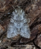 Grey Arches  Polia nebulosa Copyright: Graham Ekins
