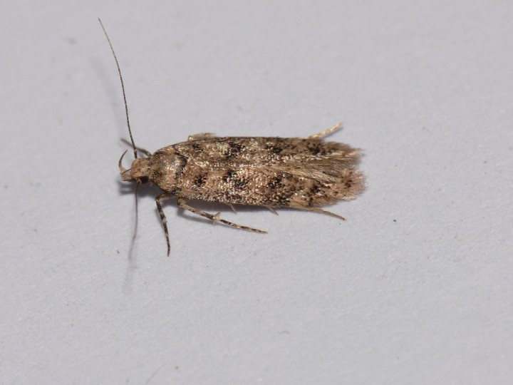 Bryotropha domestica Copyright: Peter Furze