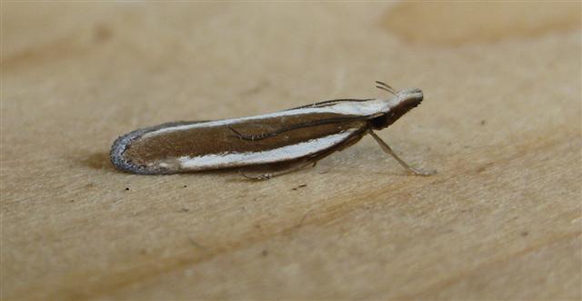 Dichomeris marginella. Copyright: Stephen Rolls