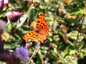 Polygonia o-album Copyright: Graham Smith