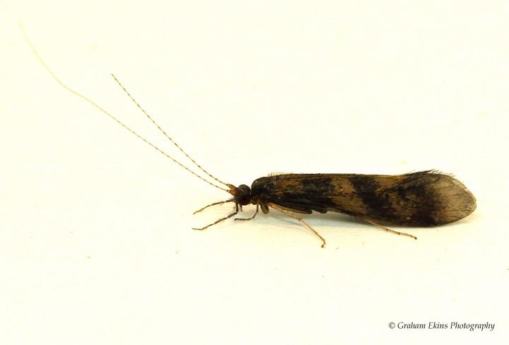 Mystacides longicornis Copyright: Graham Ekins