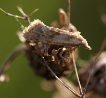 Cochylimorpha straminea Copyright: Robert Smith