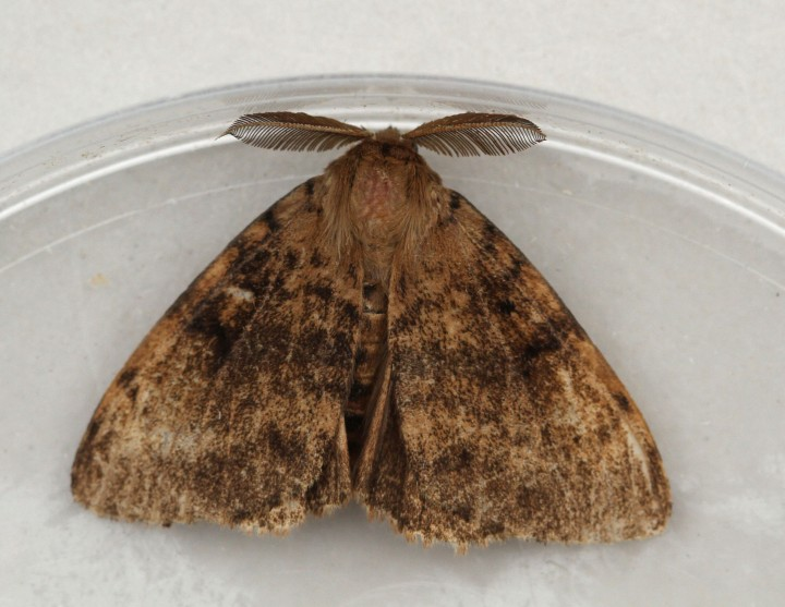 Gypsy Moth  Lymantria dispar Copyright: Graham Ekins