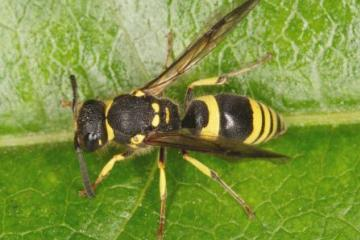 Ancistrocerus gazella