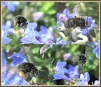 Anthophora plumipes montage Copyright: Brain Wadie