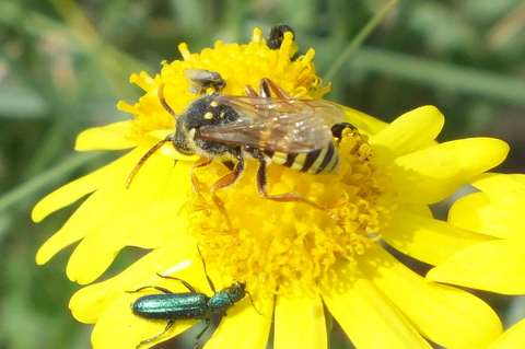 Bee on Ragwort Copyright: Peter Pearson